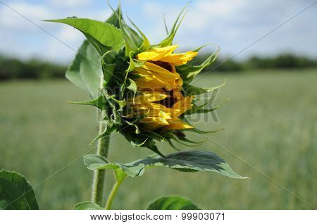 Vernal Sunflower On A Meadow With Closed Flower
