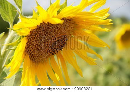 Sunflower On A Meadow