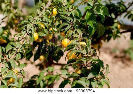 Ripe Yellow Plum On A Branch