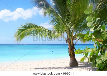 Isla Saona-Palm