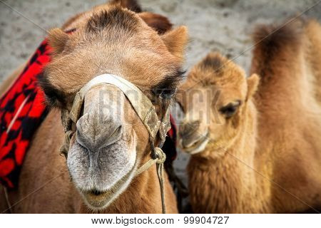 Close Shot On Camel And Her Calf, India