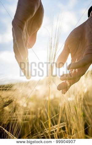 Agronomist Or Farmer Cupping His Hands Around An Ear Of Wheat In An Agricultural Field