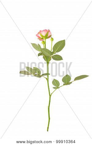 Garden Rose With Leaves