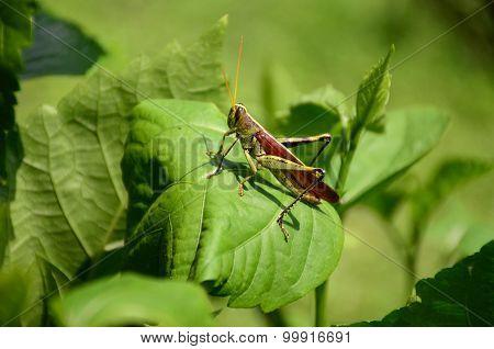 Grasshopper on hibiscus