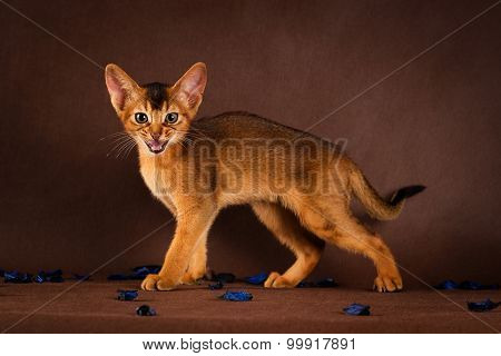 angry ruddy abyssinian cat on dark green background