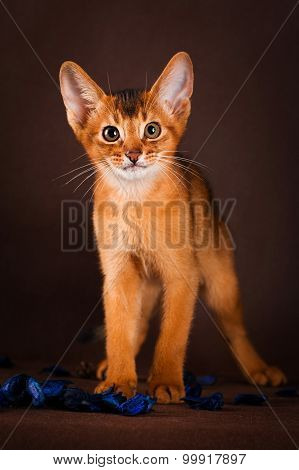 Ruddy abyssinian cat on dark green background