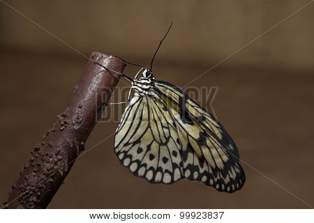 Rice Paper Butterfly On Branch