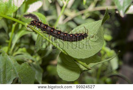 Malachite Butterfly larva