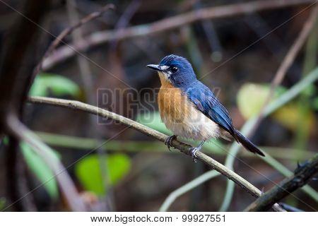 Mangrove Blue Flycatcher (female)