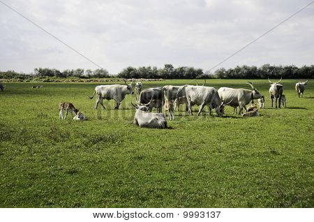 Hungarian Cattle