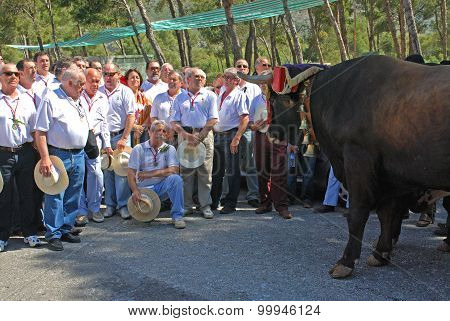 Spanish male choir singing to a bull.