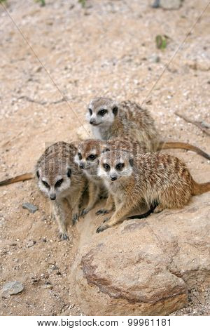 Three Suricates In a Zoo