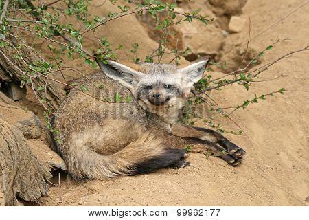 Bat-eared Fox In A Zoo