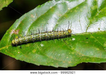 Caterpillar Of Great Assyrian (terinos Atlita) Butterfly