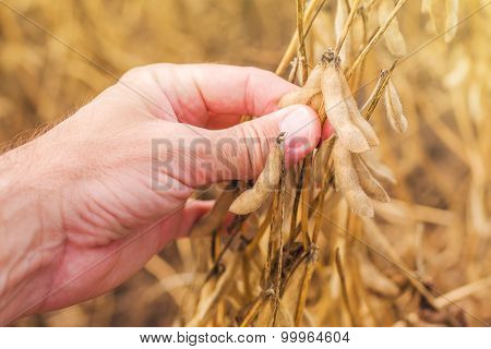 Farmer Hand In Harvest Ready Soy Bean Field