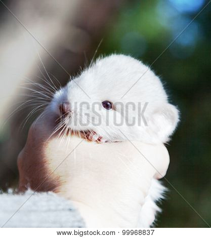 Little Chinchilla In The Hand