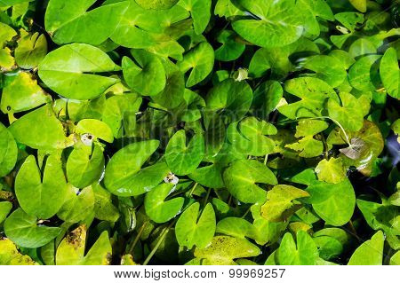 Lotus Leaf Background