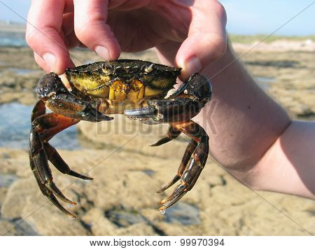 Male Hand Holding A Large Live Crab At A Beach In Devon, Uk