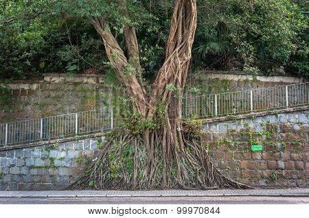 Large Banyan Tree Growing Against A Wall In The Mid-levels Area Of Hong Kong Island