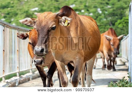 Wild Cows Roam Through Tai O Village, Lantau Island, Hong Kong