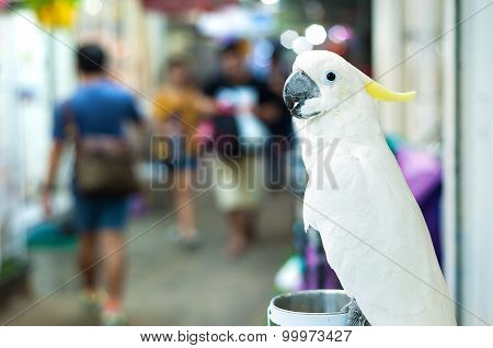 White Cockatoo Perching At Chatuchak Market, Bangkok, Thailand