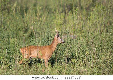 Roe Buck In High Grass