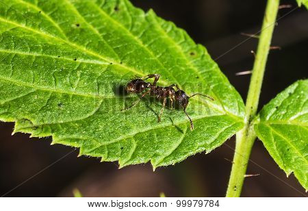 Ant On Green Leaf Macro