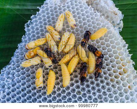 wasp emerging