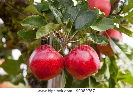 Twin Apples