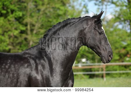 Amazing Black Dutch Warmblood Running