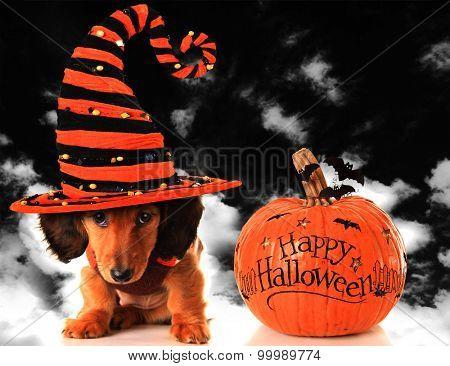Dachshund puppy wearing a witch hat, next to a pumpkin.