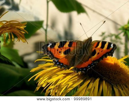 Small tortoiseshell on horse-heal