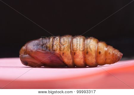 Insect Snout Moth Cocoon Isolated On Black