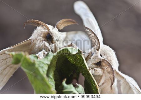 Two Silk Butterfly Cocoon