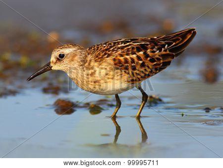 Least Sandpiper Shorebird (Calidris minutilla) or Peep