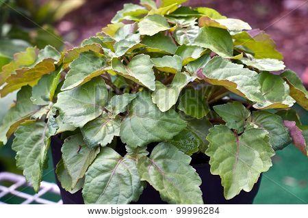 Patchouli Plant In Garden