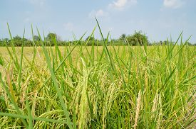 foto of rice  - Oryza sativa is the plant species most commonly referred to in English as rice. Rice is known to come in a variety of colors including: white rice brown rice black rice  purple rice and red rice. - JPG