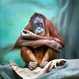 stock photo of orangutan  - Female orangutan portrait in zoo - JPG