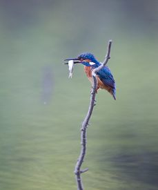 foto of water bird  - Kingfisher bird holding small fish in beak on the branch sticking from water - JPG
