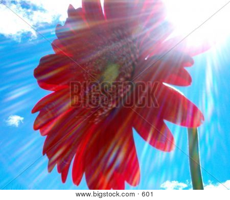 Red Flower In The Sun