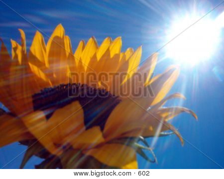 Sunflower In The Sun poster