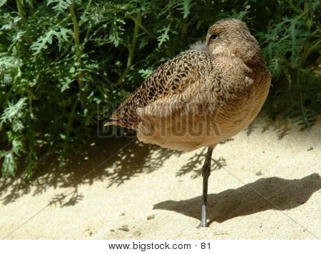 Lone Shorebird On One Leg